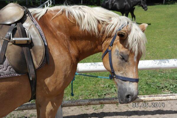 Pferd wartet auf Reiter - Reitausflug Prignitzer Leasing